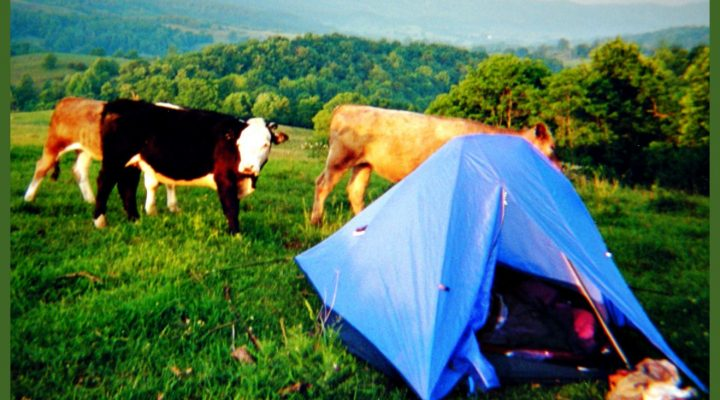 Sleeping with Cows